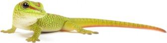 slide-bg-cb73-336x87 Baby Madagascar Day Gecko